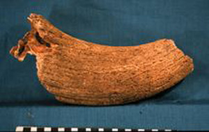 Photo of Biospecimen: Bull Horn