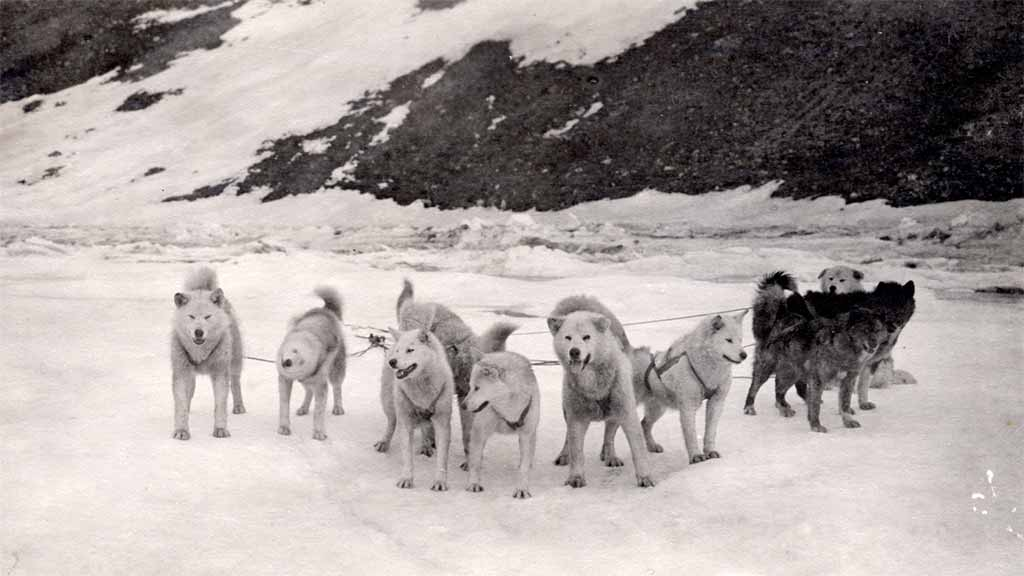 a team of sled dogs